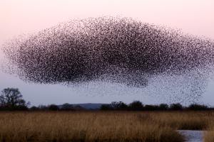 Image James Wainscoat - flock of birds resembling brain and information processing